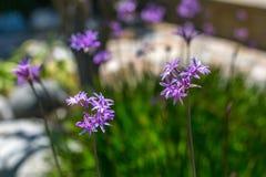 Society Garlic. Blooming society garlic plant in a garden royalty free stock photography