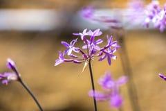Society Garlic. Blooming society garlic plant in a garden royalty free stock photo