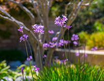 Society Garlic. Plants in a garden setting royalty free stock photos