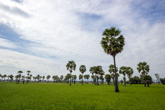 Socker gömma i handflatan och grönskarisfält i det Phetchaburi landskapet, Thailand Fotografering för Bildbyråer
