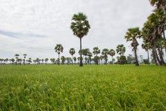 Socker gömma i handflatan och grönskarisfält i det Phetchaburi landskapet, Thailand Arkivfoto
