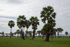 Socker gömma i handflatan och grönskarisfält i det Phetchaburi landskapet, Thailand Royaltyfri Bild