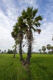 Socker gömma i handflatan och grönskarisfält i det Phetchaburi landskapet, Thailand Arkivfoton