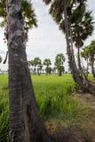 Socker gömma i handflatan och grönskarisfält i det Phetchaburi landskapet, Thailand Royaltyfri Fotografi