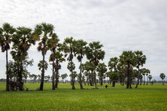 Socker gömma i handflatan och grönskarisfält i det Phetchaburi landskapet, Thailand Royaltyfria Bilder