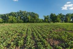 Sockerbeta i ett f?lt lantlig plats Sk?rd och lantbruk royaltyfri fotografi
