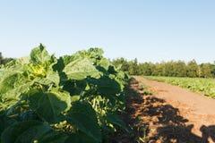Sockerbeta i ett f?lt lantlig plats Sk?rd och lantbruk royaltyfri foto