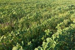 Sockerbeta i ett f?lt lantlig plats Sk?rd och lantbruk royaltyfri bild