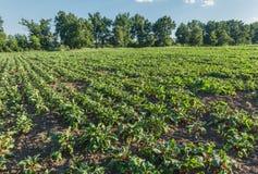 Sockerbeta i ett f?lt lantlig plats Sk?rd och lantbruk royaltyfria foton