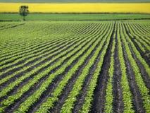 Sockerbetafält Royaltyfri Foto