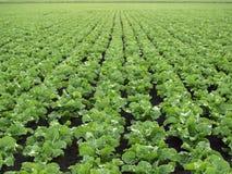 Sockerbetafält Royaltyfri Fotografi
