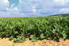 Sockerbetafält i sommarsunen Arkivbild