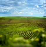 Sockerbetafält, jordbruks- kullelandskap Royaltyfri Bild