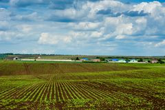 Sockerbetaskördforsar på stort fält Arkivfoton
