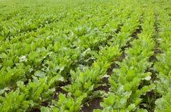 Sockerbetor på fältet Växa av bonden arkivfoto