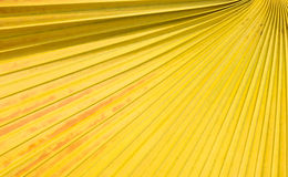 Sockerpalmbladbakgrund royaltyfri foto