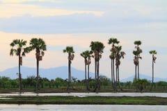 Sockerpalmträd i solnedgångtid Royaltyfri Fotografi