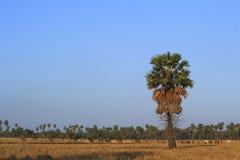 Sockerpalmträd och kor. Arkivbilder