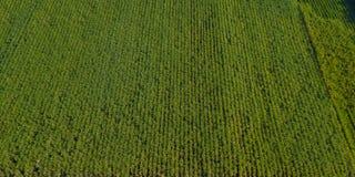 Sockerrör eller jordbruk i det lantliga förbudet Pong, Ratchaburi, Thailand Royaltyfri Foto