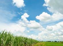 Sockerrör i blå himmel och vitmoln arkivbild