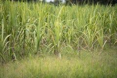 Sockerröret i fältet Royaltyfria Bilder