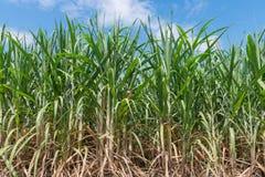 Sockerrörfält Royaltyfri Foto