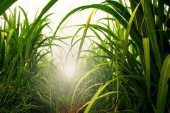 Sockerrörfält i blå himmel med den vita solen Royaltyfri Fotografi