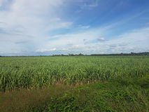 Sockerrörfält i bygden av Thailand Fotografering för Bildbyråer