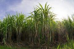 sockerrörfält med blå himmel Royaltyfri Bild