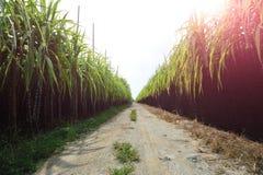 Sockerrörfält och slinga Arkivfoton