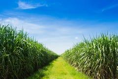 Sockerrörfält och väg med det vita molnet Royaltyfri Fotografi