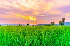 Sockerrörfält på solnedgången med solen Arkivbilder