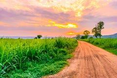 Sockerrörfält på solnedgången med solen Royaltyfria Foton