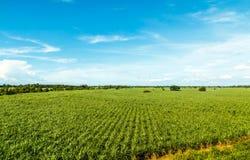 Sockerrörlantgård Arkivfoton