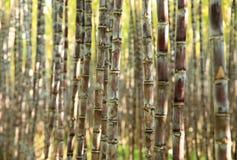 Sockerrörväxter i tillväxt på fältet Royaltyfria Foton