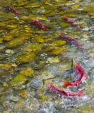 Sockeye-Lachse, die in einem kanadischen Fluss laichen Stockfotos