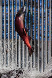 Sockeye Salmon Royalty Free Stock Images