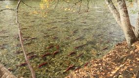 Sockeye Salmon Autumn Spawn do rio de Adams video estoque