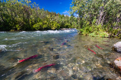 Sockeye salmon in the Gulkana River, Alaska Stock Images