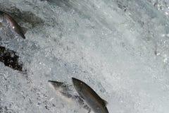 Sockeye salmon jumping Royalty Free Stock Photos