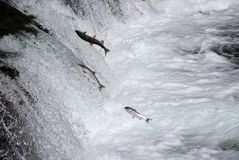 Sockeye Salmon Jumping Up Brooks Falls Royalty-vrije Stock Afbeelding