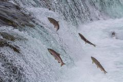 Sockeye Salmon Jumping Up Falls Arkivfoto