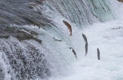 Sockeye Salmon Jumping Up Falls Royaltyfri Bild
