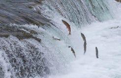 Sockeye Salmon Jumping Up Falls. Sockeye salmon jumping up Brooks falls during their annual migration at Katmai National Park, Alaska Royalty Free Stock Image