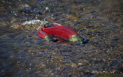 Sockeye Salmon. Male and female Sockeye salmon (Oncorhynchus nerka) exposed on a shallow stretch of a spawning stream Stock Image