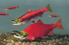 Sockeye Salmon (Oncorhynchus nerka). Spawning Male and female Sockeye Salmon swimming along a river bottom Royalty Free Stock Images