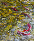 Sockeye Salmon spawning in a Canadian River stock photos