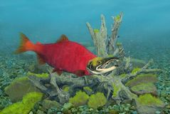 Sockeye Salmon Underwater. A male Sockeye Salmon underwater with mossy rocks and a submerged tree root system in the background Stock Photo