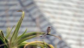 Sockra fågeln, Promerops cafer som sitter på aloeväxten Royaltyfri Foto