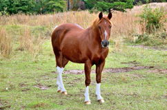 Socks. Brown horse with four white sock feet royalty free stock images